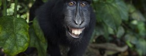 Mandatory Credit: Photo by Anup Shah/NPL/REX (2711641b) Celebes crested macaque juvenile approaching camera with curiosity and most likely being able to see his reflection in camera lens Celebes Crested Macaque, Tangkoko National Park, Sulawesi, Indonesia - 2013 Did you hear the one about the monkey? Whatever the joke may be, judging by the grins on the faces of these macaques it must be a good one. The merry looking monkeys were snapped in the Tangkoko National Park in Sulawesi, Indonesia. However, while they appear to be living up to their cheeky monkey reputation by flashing their widest grins, this is actually a threat gesture. The nervous juvenile's are flashing their teeth in an effort to frighten off another monkey invading their private space. Unfortunately for them, they won't have much luck scaring off the rival because what they are reacting to is their own reflection in the camera lens!